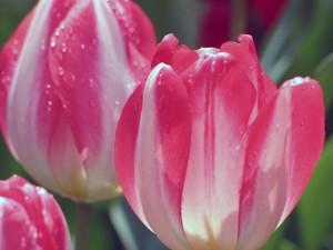 tulipa2_05prostye_pozdnie